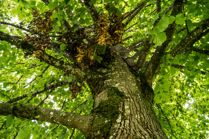 Der Lindenbaum – Lindenblüten